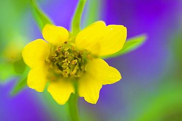 Common Lilac (Syringa vulgaris) flower, Zuidland, Netherlands  -  Nico van Kappel/ Buiten-beeld