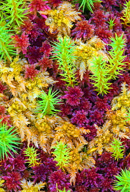 Sphagnum Moss (Sphagnum subnitens) and Prairie Sphagnum Moss (Sphagnum palustre), Netherlands  -  Nico van Kappel/ Buiten-beeld