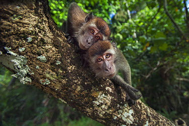 Long-tailed Macaque (Macaca fascicularis) juveniles, Bako National Park, Sarawak, Borneo, Malaysia  -  Anup Shah