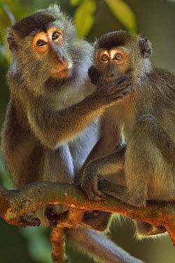 Long-tailed Macaque (Macaca fascicularis) female grooming a juvenile with hand over his mouth, Bako National Park, Sarawak, Borneo, Malaysia  -  Anup Shah