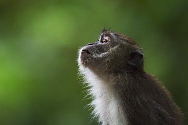 Long-tailed Macaque (Macaca fascicularis) juvenile, Bako National Park, Sarawak, Borneo, Malaysia. Sequence 1 of 2  -  Anup Shah