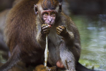 Long-tailed Macaque (Macaca fascicularis) juvenile feeding on frog eggs, Bako National Park, Sarawak, Borneo, Malaysia  -  Fiona Rogers