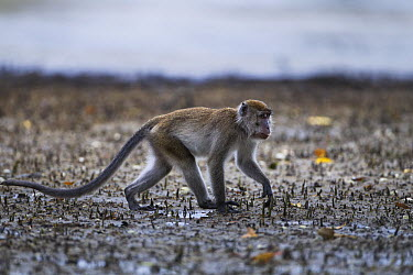 Long-tailed Macaque (Macaca fascicularis) foraging on the mudflats of a mangrove swamp at low tide, Bako National Park, Sarawak, Borneo, Malaysia  -  Fiona Rogers
