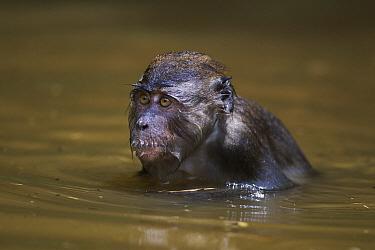 Long-tailed Macaque (Macaca fascicularis) juvenile in a pool of water, Bako National Park, Sarawak, Borneo, Malaysia  -  Fiona Rogers