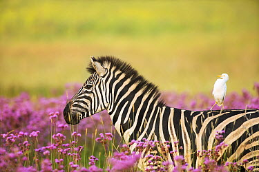 Burchell's Zebra (Equus burchellii) with Cattle Egret (Bubulcus ibis) catching a ride while walking among exotic Pompom weed (Campuloclinium macrocephalum), Rietvlei Nature Reserve, South Africa  -  Richard Du Toit