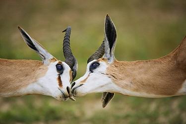 Springbok (Antidorcas marsupialis) males greeting one another, Kgalagadi Transfrontier Park, South Africa  -  Richard Du Toit