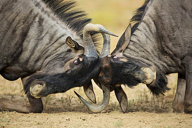 Blue Wildebeest (Connochaetes taurinus) males sparring, Kgalagadi Transfrontier Park, South Africa  -  Richard Du Toit