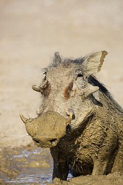 Warthog (Phacochoerus africanus) male having a mudbath, Kgalagadi Transfrontier Park, South Africa  -  Richard Du Toit