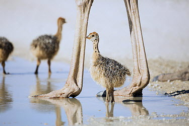 Ostrich (Struthio camelus) towering above small chicks, Kgalagadi Transfrontier Park, South Africa  -  Richard Du Toit