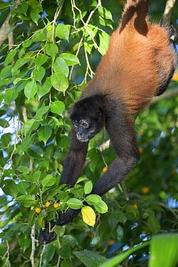 Black-handed Spider Monkey (Ateles geoffroyi) foraging for fruit while hanging, Osa Peninsula, Costa Rica  -  Suzi Eszterhas