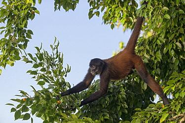 Black-handed Spider Monkey (Ateles geoffroyi), Osa Peninsula, Costa Rica  -  Suzi Eszterhas