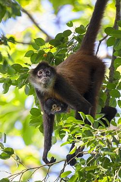 Black-handed Spider Monkey (Ateles geoffroyi) mother and infant, Osa Peninsula, Costa Rica  -  Suzi Eszterhas