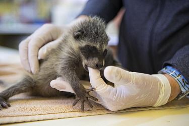 Raccoon (Procyon lotor) orphaned baby sucking the finger of a volunteer, WildCare Wildlife Rehabilitation Center, San Rafael, California  -  Suzi Eszterhas