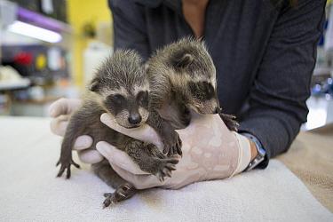 Raccoon (Procyon lotor) orphaned babies being held, WildCare Wildlife Rehabilitation Center, San Rafael, California  -  Suzi Eszterhas