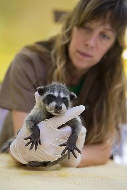 Raccoon (Procyon lotor) orphaned baby, WildCare Wildlife Rehabilitation Center, San Rafael, California  -  Suzi Eszterhas