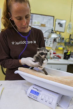 Raccoon (Procyon lotor) baby being weighed by Melanie Piazza, Director of Animal Care at WildCare Wildlife Rehabilitation Center, San Rafael, California  -  Suzi Eszterhas