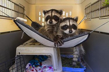 Raccoon (Procyon lotor) orphaned babies resting in hammock, WildCare Wildlife Rehabilitation Center, San Rafael, California  -  Suzi Eszterhas