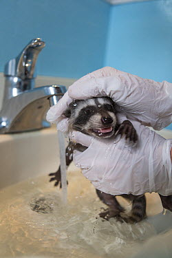 Raccoon (Procyon lotor) baby being bathed in foster home, WildCare Wildlife Rehabilitation Center, San Rafael, California  -  Suzi Eszterhas