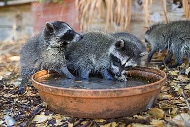 Raccoon (Procyon lotor) orphaned babies at water dish in foster home, WildCare Wildlife Rehabilitation Center, San Rafael, California  -  Suzi Eszterhas