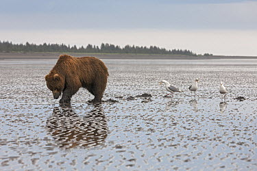 Grizzly Bear (Ursus arctos horribilis) searching for clams on tidal flats followed by opportunistic gulls, Lake Clark National Park, Alaska  -  Ingo Arndt