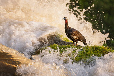 Black-fronted Piping Guan (Pipile jacutinga) feeding on moss at upper edge of waterfall, Iguacu Falls, Iguacu National Park, Argentina  -  Ingo Arndt