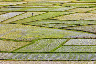 Rice (Oryza sativa) crop on terraced fields with worker, Antananarivo, Madagascar  -  Ingo Arndt