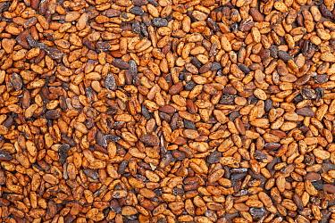 Cocoa (Theobroma cacao) beans drying, Ilheus, Brazil  -  Ingo Arndt