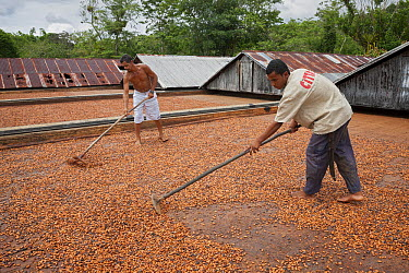 Cocoa (Theobroma cacao) workers on cocoa farm with tool turning naturally drying beans, Ilheus, Brazil  -  Ingo Arndt