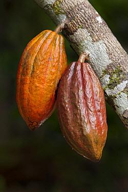 Cocoa (Theobroma cacao) fruit, Ilheus, Brazil  -  Ingo Arndt