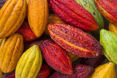 Cocoa (Theobroma cacao) fruits, Ilheus, Brazil  -  Ingo Arndt