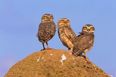 Burrowing Owl (Athene cunicularia) pair with juvenile, Serra da Canastra National Park, Brazil  -  Ingo Arndt