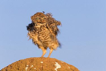 Burrowing Owl (Athene cunicularia) ruffling its feathers, Serra da Canastra National Park, Brazil  -  Ingo Arndt