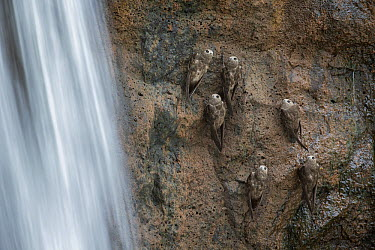 Great Dusky Swift (Cypseloides senex) group perched on cliff near waterfall, Iguacu National Park, Brazil  -  Ingo Arndt