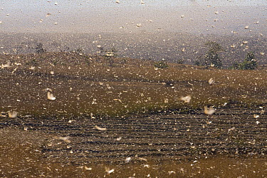 Migratory Locust (Locusta migratoria capito) swarm flying and passing dry rice field, near Isalo National Park, Madagascar  -  Ingo Arndt