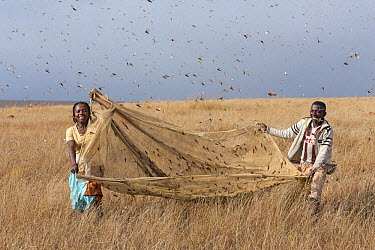 Migratory Locust (Locusta migratoria) being harvested for food, Isalo National Park, Madagascar  -  Ingo Arndt