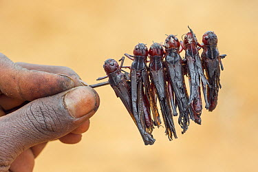 Migratory Locust (Locusta migratoria) group skewered for roasting over fire, Isalo National Park, Madagascar  -  Ingo Arndt