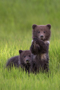 Grizzly Bear (Ursus arctos horribilis) curious cubs in grass, Lake Clark National Park, Alaska  -  Ingo Arndt
