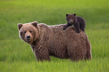 Grizzly Bear (Ursus arctos horribilis) cub on mother's back, Lake Clark National Park, Alaska  -  Ingo Arndt