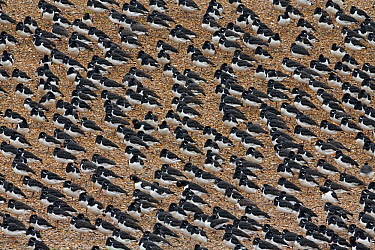 Eurasian Oystercatcher (Haematopus ostralegus) group roosting at high tide, Snettisham, Norfolk, England  -  Ingo Arndt