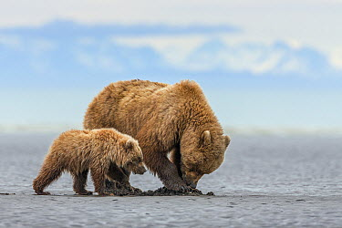 Grizzly Bear (Ursus arctos horribilis) mother and cub digging for clams on tidal flats, Lake Clark National Park, Alaska  -  Ingo Arndt