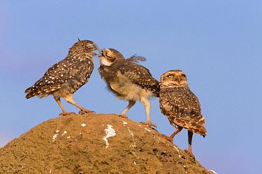 Burrowing owl (Athene cunicularia) juvenile begging for food, Serra da Canastra National Park, Brazil  -  Ingo Arndt
