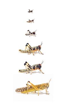 Desert Locust (Schistocerca gregaria) life stages from larva through stages L1 to L5, Africa  -  Ingo Arndt