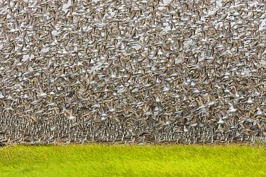 Semipalmated Sandpiper (Calidris pusilla) flock taking flight, Bay of Fundy, New Brunswick, Canada  -  Yva Momatiuk & John Eastcott