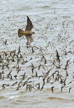 Peregrine Falcon (Falco peregrinus) chasing Semipalmated Sandpiper (Calidris pusilla) flock, Bay of Fundy, New Brunswick, Canada  -  Yva Momatiuk & John Eastcott