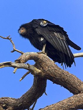 California Condor (Gymnogyps californianus) juvenile, Zion National Park, Utah  -  Yva Momatiuk & John Eastcott