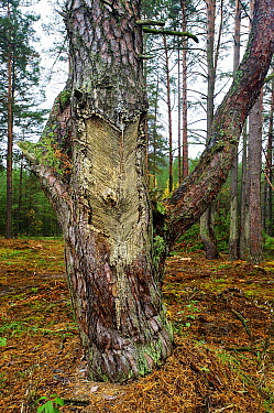 Scotch Pine (Pinus sylvestris) with trunk scored for resin extraction to make turpentine, Chernobyl Exclusion Zone, Ukraine  -  James Christensen