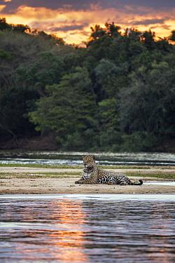 Jaguar (Panthera onca) on riverbank at sunset, Cuiaba River, Pantanal, Brazil  -  Suzi Eszterhas