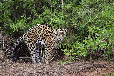 Jaguar (Panthera onca) stretching, Cuiaba River, Pantanal, Brazil  -  Suzi Eszterhas