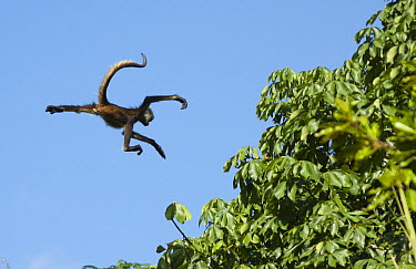 Yucatan Spider Monkey (Ateles geoffroyi yucatanensis) jumping to another tree, Yucatan Peninsula, Mexico  -  Kevin Schafer
