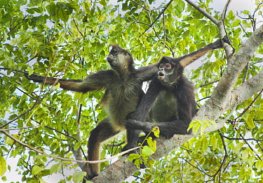 Yucatan Spider Monkey (Ateles geoffroyi yucatanensis) pair in tree, Yucatan Peninsula, Mexico  -  Kevin Schafer